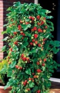 Strawberry plant vertical, grow your own vegetables