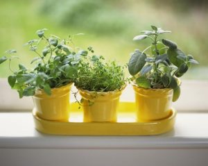 windowsill pots, grow your own vegetables