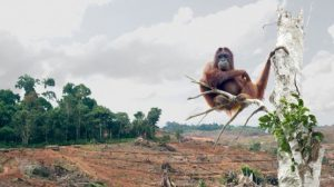 orangutans, reason to choose timber composite